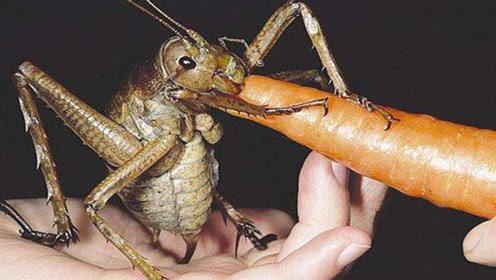 世界上最大的蝗虫体长20厘米,一顿能吃掉一根胡萝卜