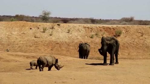 犀牛母子看见大象的行为,心想那里肯定有猫腻,不顾大象威胁上去查看!