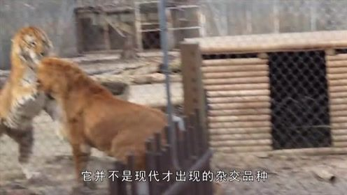 长相霸气威猛的狮虎兽、虎狮兽,几乎没有天敌,为何现存数量那么少?