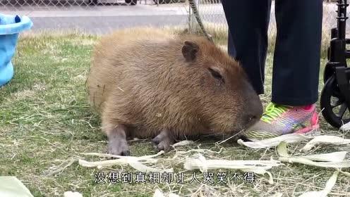 一只水豚四脚朝天躺在地上,吓坏游客,走进查看让人哭笑不得!