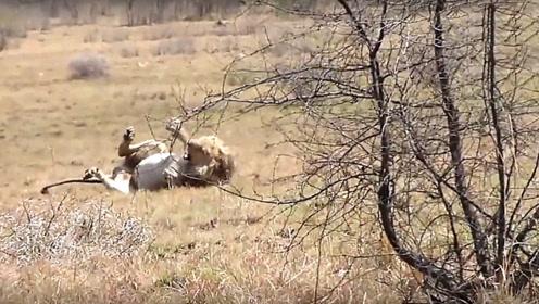 狮子在原地转了几圈,突然倒地抽搐,这是被毒蛇咬了吗?