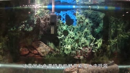鱼离开水还能活?大自然真奇妙,堪称活化石