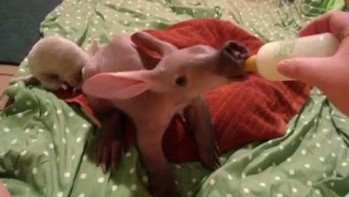 """女子捡回一只""""无毛猪"""",养了几个月感觉不对劲,镜头记录全过程"""