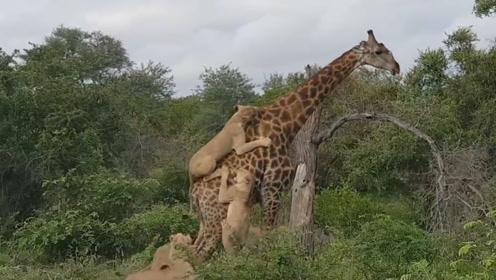 长颈鹿大战群狮,3个小时后,狮子尴尬了,画面简直太搞笑了!