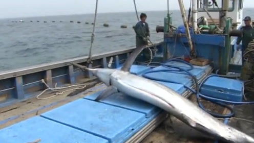 渔民出海偶遇鱼群,意外捕获海洋巨无霸,几个人都抱不动!