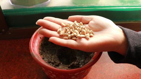 吃剩的山楂籽不要扔,种进花盆中比绿萝、吊兰还要好看,后悔才知道