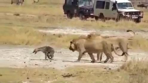 """狮子咬掉鬣狗后腿后,不停对其进行精神""""折磨"""",镜头记录全过程"""