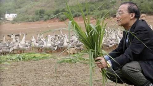 老人用多门外语驯养大雁:它们祖籍西伯利亚,俄语交流更亲切