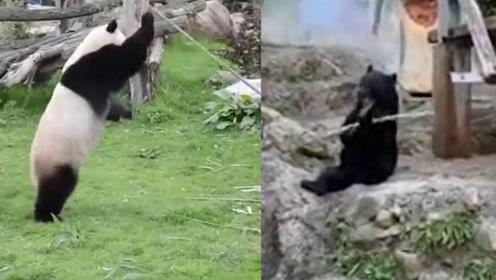 """日本黑熊VS""""功夫熊猫""""网友惊呼:没点功夫都不敢混动物园"""
