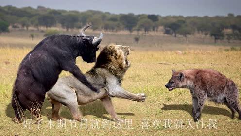 一只母狮单枪匹马对战一群水牛,好不容易捕杀到了猎物,却被鬣狗盯了梢