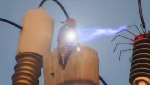 一只啄木鸟被高压电击中后,瞬间消失不见,镜头拍下全过程!