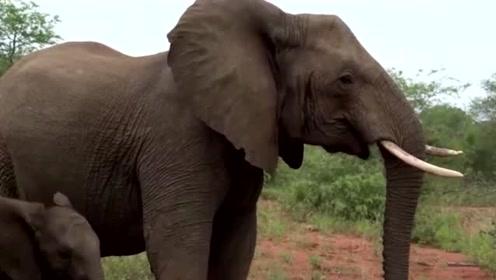 大象看到游客也很好奇,乖乖地走过来给你们观赏