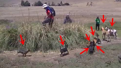兔子多在草丛里避难,谁知围满了猎狗,兔子:这是人干的事吗?