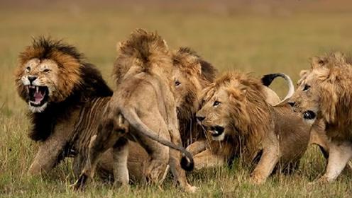 4头雄狮包围狮王,本以为狮王必死无疑,结局却瞬间反转了!