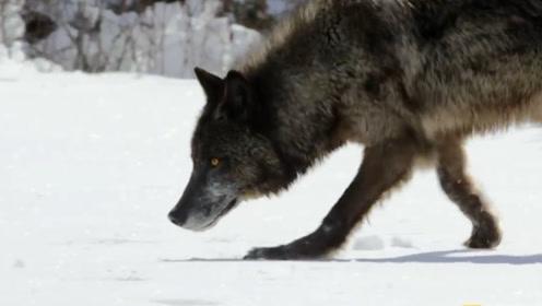 自然界巅峰掠食者,俄罗斯小哥却当二哈养,网友:这眼神绝了