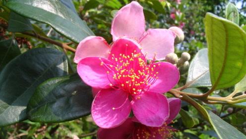 农村这种植物好看还好用,果实是治哮喘的良药!