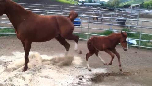 小马闹脾气用后蹄踢妈妈,妈妈一生气一脚把小马踢懵了