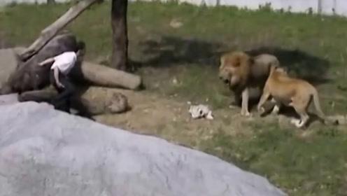 男子掉入狮子园中后,接下来男子的做法,堪称教科书级别的