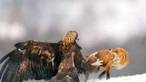 狐狸冒死偷老鹰食物,老鹰大怒狠狠揍它,反被狐狸打的落荒而逃
