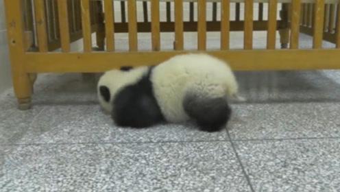 熊猫宝宝偷溜进房间搞破坏,看到奶妈进来后,下一秒的举动笑翻了