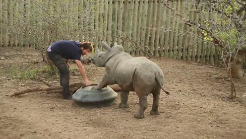 肚子饿了的犀牛宝宝,拿起自己的饭盆拼命暗示,就怕饲养员不懂
