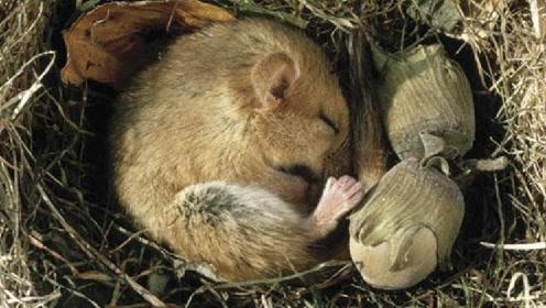 """动物界的""""睡神"""",一年有9个月在睡觉,睡着睡着就饿死了"""