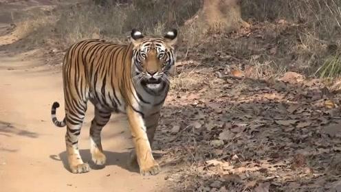 山路一只老虎正在巡逻领地,目测160公斤,体型太完美了!