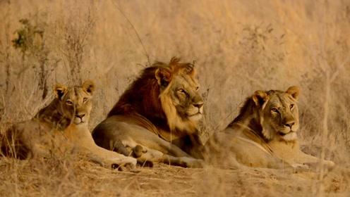 猫科动物中的异类是狮子!唯一的群居猫科动物还是社交型族群!