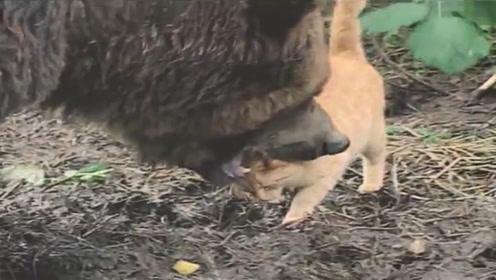 棕熊外出觅食,恰巧碰上一只猫,以为是大餐,没想画风突变