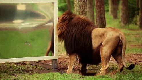 在动物园内放上一面镜子,狮子看到后会有什么反应?看完忍住别笑!