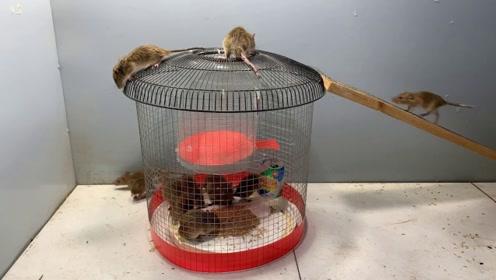 用铁笼和电风扇罩制作的捕鼠神器,看看效果怎么样
