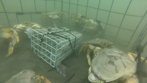 老外做铁笼子当陷阱,螃蟹纷纷往里冲,男子都要乐坏了