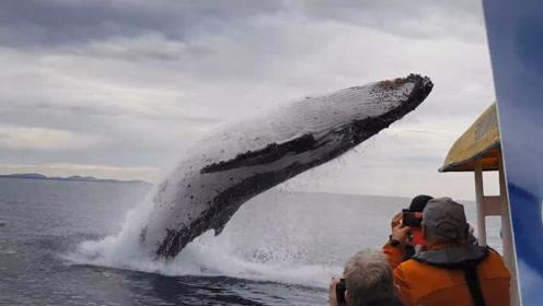 座头鲸从船下一跃而起,溅起的浪花差点掀翻游艇,看着都怕