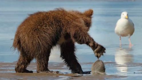 本来想撬个肉吃,小熊却被食物夹手?提着贝壳找妈妈的样子太好笑