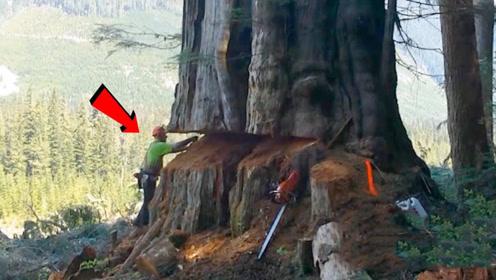 """人工锯倒大树,上演现实版""""蚍蜉撼树"""",大树倒下瞬间太过瘾了"""
