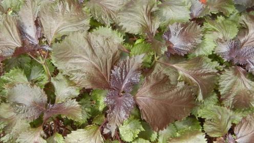 农村这种野草晒干如同紫菜,专治感冒鼻塞,你认识吗?