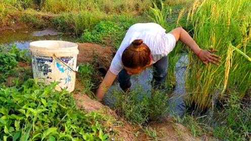 田埂边有好多鱼洞,农村女孩提桶去摸鱼,看看抓到了什么?