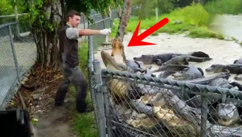 池子里一群鳄鱼,男子徒手拿着鸡腿喂食,场面惊心!