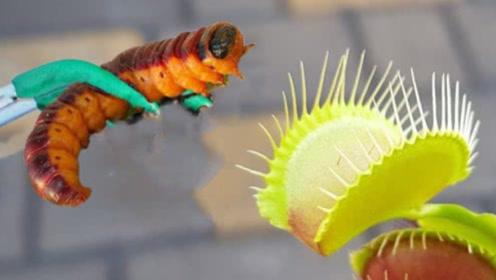 """当捕蝇草遇上""""虫中之王""""会怎样?小哥亲测后,结果傻眼了!"""