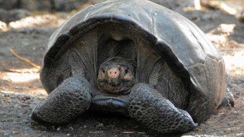人类不抓我了吧?被认为灭绝113年的巨龟被发现,动作迷倒众人!