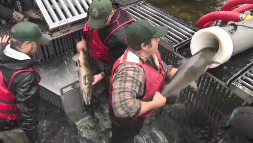 老外为了让鲑鱼产卵,竟然给它坐过山车,难道不怕鲑鱼流产吗?