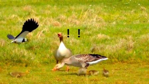 灰雁一家在草地上觅食,麦鸡过来偷袭,镜头拍下全过程!