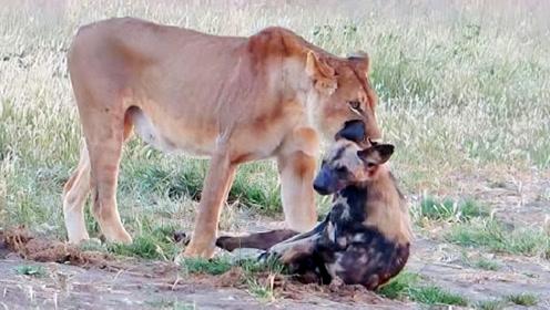 狂妄野犬追杀落单狮子,母狮盯着一只狂咬,野犬惨被狮子当场咬死