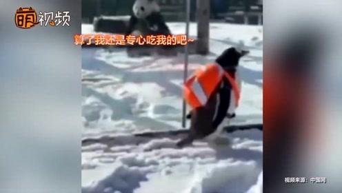 超萌!企鹅坐专列火车去见大熊猫 大熊猫:等我吃完饭再玩儿