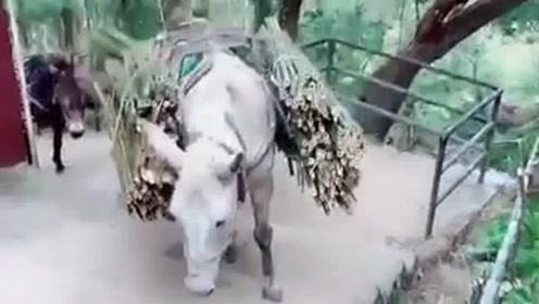 驴对这个家真是踩碎了心,饲养员让驴驮这么多竹子,不为驴考虑一下吗?