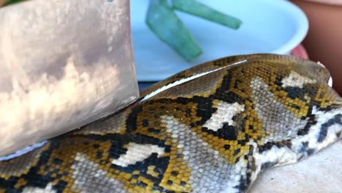 印尼人吃蟒蛇肉,看起来让人头皮发麻的蟒蛇,吃起来真是过瘾!