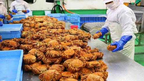 日本三大名蟹之一,十年才能长成,螃蟹内部十分惊艳