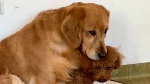 金毛抱着泰迪取暖,女主人嘲讽金毛,结果被金毛瞪了一眼