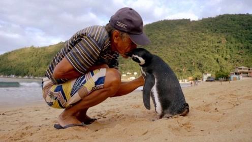 """世界上最有""""情义""""的企鹅,每年跨越8000公里,只为见恩人!"""