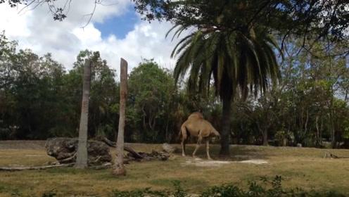 """野外发现""""无头骆驼""""?游客当场傻眼,骆驼转身的瞬间忍住别笑"""